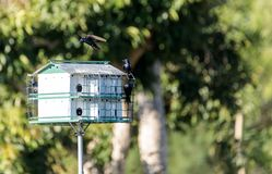 Os subis do Progne dos pássaros de Martin roxo voam e empoleiram-se em torno de um birdhous Foto de Stock Royalty Free