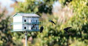 Os subis do Progne dos pássaros de Martin roxo voam e empoleiram-se em torno de um birdhous Fotografia de Stock Royalty Free