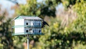 Os subis do Progne dos pássaros de Martin roxo voam e empoleiram-se em torno de um birdhous Imagens de Stock Royalty Free