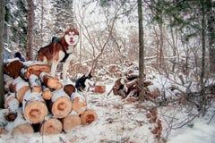 Os suportes roncos dos cães entram sobre a floresta que do inverno o cão de puxar trenós Siberian é cores preto e branco e marron Imagens de Stock Royalty Free