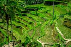 Os terraços os mais dramáticos e os mais espetaculares do arroz em Bali podem ser vistos perto da vila de Tegallalang, em Ubud In imagens de stock
