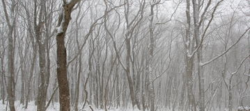 Os testes padrões fantásticos da neve cobriram árvores Fotos de Stock Royalty Free