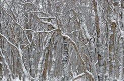 Os testes padrões fantásticos da neve cobriram árvores Imagem de Stock Royalty Free