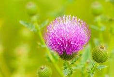 Os Thistles florescem nos campos verdes. imagem de stock