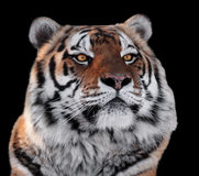 Os tigres dirigem com close-up dos olhos do amarelo isolados no preto Fotos de Stock