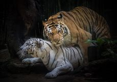 Os tigres Siberian estão produzindo no ambiente natural do z Imagens de Stock Royalty Free