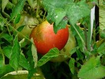 Os tomates após a chuva Imagens de Stock