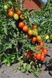 Os tomates de cereja são um dos vegetarianos os mais fáceis a crescer e como um jardineiro Tomates de cereja maduros que crescem  Imagens de Stock