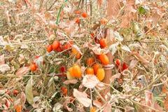 Os tomates e a folha eram dano pelo calor e pela seca Foto de Stock Royalty Free