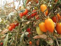 Os tomates e a folha eram dano pelo calor e pela seca Foto de Stock