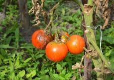 Os tomates ficam doente pela ferrugem atrasada Feche acima em infes do Phytophthora Fotos de Stock Royalty Free