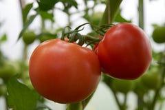 Os tomates maduros vermelhos bonitos crescem em uma estufa Foto de Stock