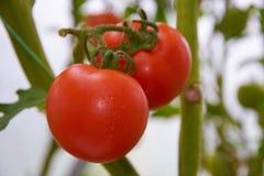 Os tomates maduros vermelhos bonitos crescem em uma estufa Fotografia de Stock