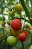 Os tomates maduros vermelhos bonitos crescem em uma estufa Fotos de Stock