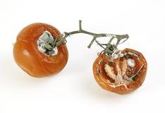 Tomates mofados maus imagem de stock royalty free