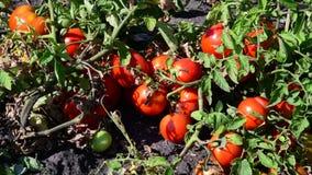 Os tomates vermelhos maduros são crescidos na terra video estoque