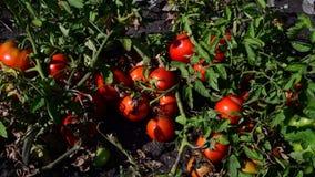 Os tomates vermelhos maduros são crescidos na terra filme