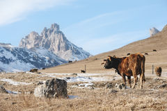 Os touros e as vacas caucasianos na montanha pastam no intervalo perto do Monte Elbrus em um fundo de rochas bonitas Fotografia de Stock Royalty Free