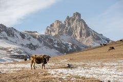 Os touros e as vacas caucasianos na montanha pastam no intervalo perto do Monte Elbrus em um fundo de rochas bonitas Fotografia de Stock