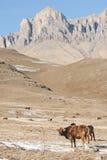 Os touros e as vacas caucasianos na montanha pastam no intervalo perto do Monte Elbrus em um fundo de rochas bonitas Imagens de Stock Royalty Free