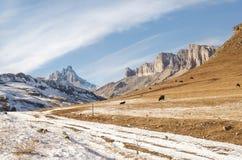 Os touros e as vacas caucasianos na montanha pastam no intervalo perto do Monte Elbrus em um fundo de rochas bonitas Imagem de Stock