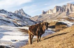 Os touros e as vacas caucasianos na montanha pastam no intervalo perto do Monte Elbrus em um fundo de rochas bonitas Fotos de Stock