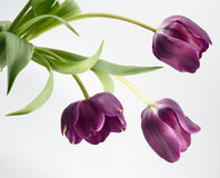 Os três Tulips Imagens de Stock Royalty Free