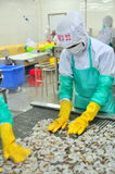 Os trabalhadores estão arranjando camarões em uma linha à máquina de congelação em uma fábrica do marisco em Vietname Fotografia de Stock