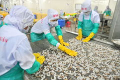 Os trabalhadores estão arranjando camarões em uma linha à máquina de congelação em uma fábrica do marisco em Vietname Imagens de Stock Royalty Free