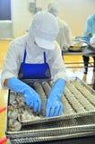 Os trabalhadores estão rearranjando o camarão descascado em uma bandeja para pôr na máquina congelada em uma fábrica do marisco n Imagens de Stock