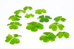 Os trevos verdes fecham-se acima Imagens de Stock Royalty Free