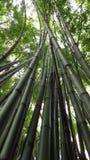 Os troncos de bambu crescem acima Foto de Stock Royalty Free