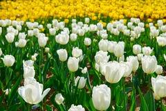 Os tulips brancos foto de stock