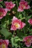 Os tulips cor-de-rosa fecham-se acima imagem de stock royalty free