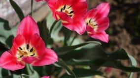 Os tulips cor-de-rosa fecham-se acima tulipas cor-de-rosa bonitos Flores cor-de-rosa da mola filme