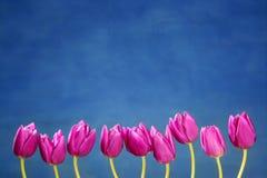 Os tulips cor-de-rosa florescem em uma linha do grupo da fileira Foto de Stock