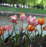 Os Tulips fecham-se acima Imagem de Stock