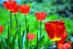 Os tulips vermelhos imagens de stock