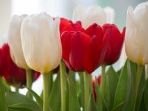 Os tulips vermelhos e brancos fecham-se acima Imagem de Stock
