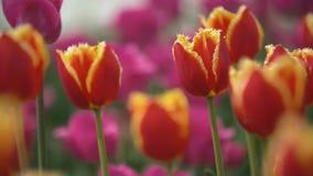 Os tulips vermelhos fecham-se acima