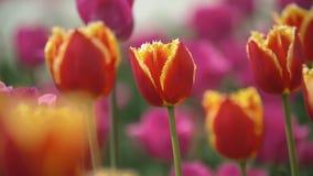 Os tulips vermelhos fecham-se acima filme