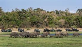 Os turistas a bordo de uma frota de jipes do safari olham um rebanho dos elefantes selvagens que dirigem para uma bebida no parqu Imagem de Stock