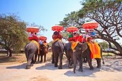 Os turistas montam elefantes na província de Ayutthaya de Tailândia Imagens de Stock Royalty Free