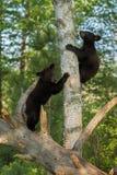 Os ursos pretos novos (Ursus americano) escalam acima a árvore Imagens de Stock Royalty Free