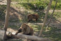 Os ursos são jogados Fotografia de Stock