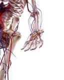 Os vasos sanguíneos da mão Foto de Stock Royalty Free
