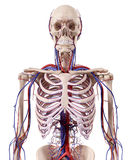 Os vasos sanguíneos do tórax Foto de Stock Royalty Free