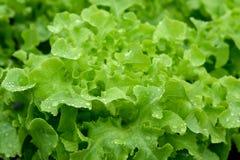 Os vegetais verdes na hidroponia cultivam, sistema novo crescido imagem de stock