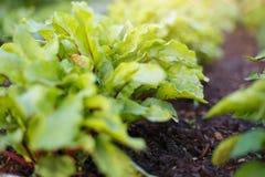 Os verdes de beterraba crescem na cama vegetal no jardim vegetal imagens de stock