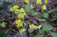 Os veris da prímula são uma flor amarela adiantada da mola foto de stock royalty free